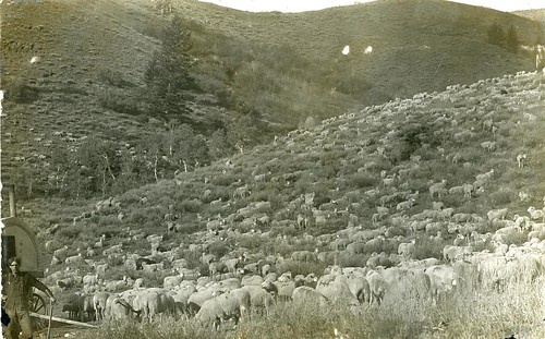 [IDAHO-J-0100] Idaho Sheep | by waterarchives