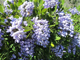 Texas Mountain Laurel | by sfbaywalk