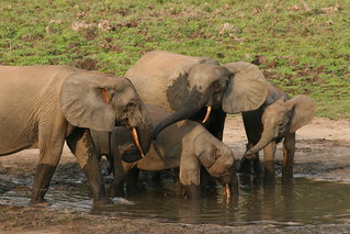 Forest elephant group 1 | by USFWS Headquarters