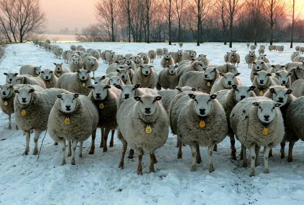 Lith, Lithse Ham nieuwsgierige schapen in de sneeuw