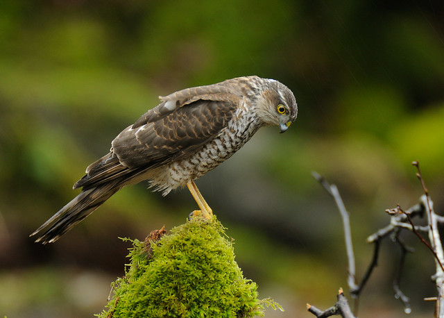 22nd February 2012 Sparrowhawk (Juvenile Male)