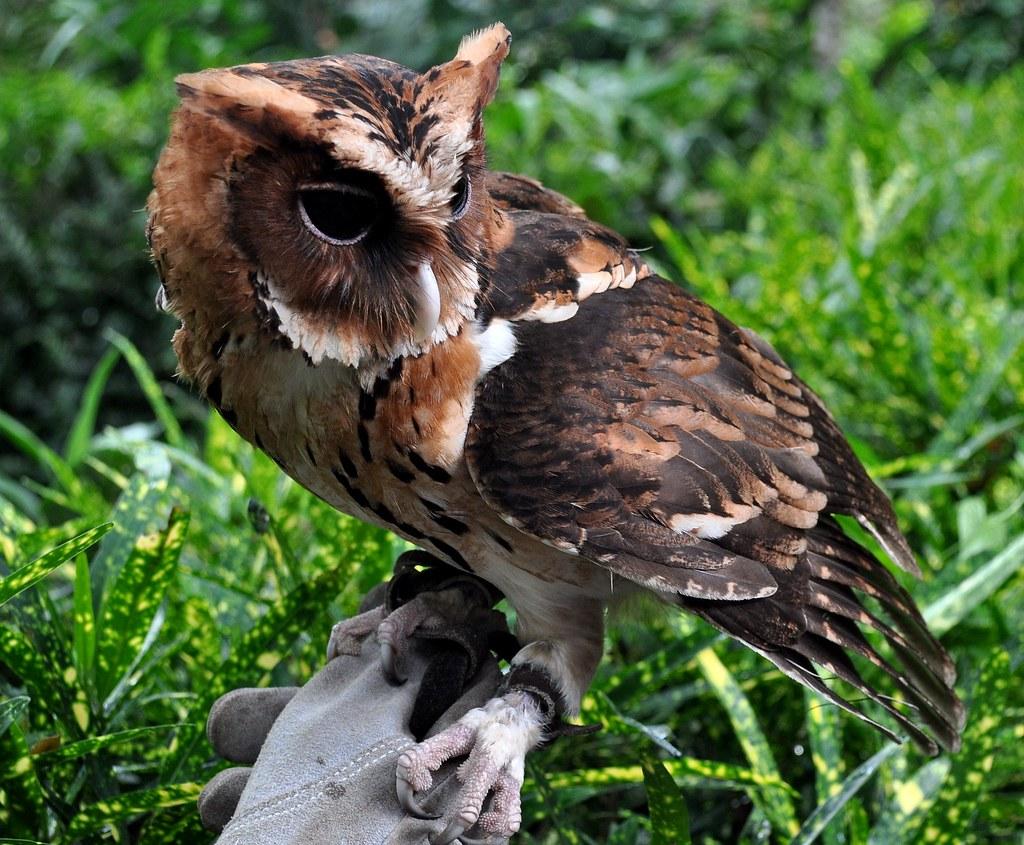 Giant Scops Owl (Mimizuku gurneyi) | Davao, Philippines ...