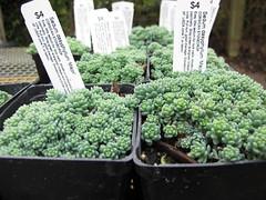 Sedum dasyphyllum Major