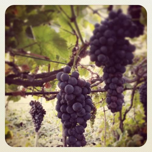 Y se hizo la luz!!!!... comenzamos vendimia 2015... aquí nos dan las uvas hoy!!!!..   by Pedro Baez Diaz @pedrobaezdiaz