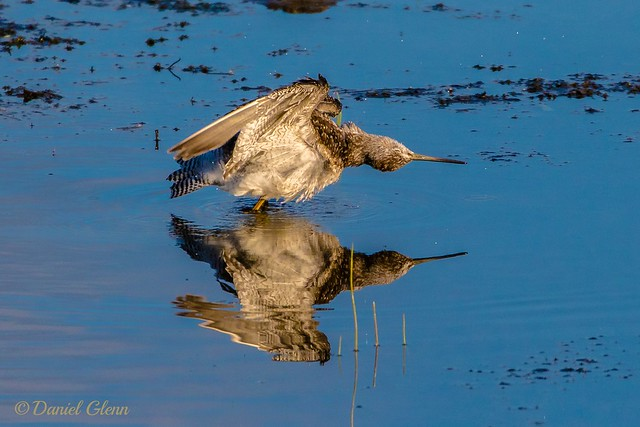 Shorebird exercise time at Potter Marsh - and a one and a two...