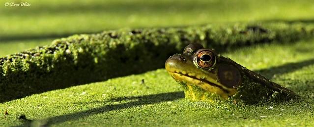 American bullfrog...