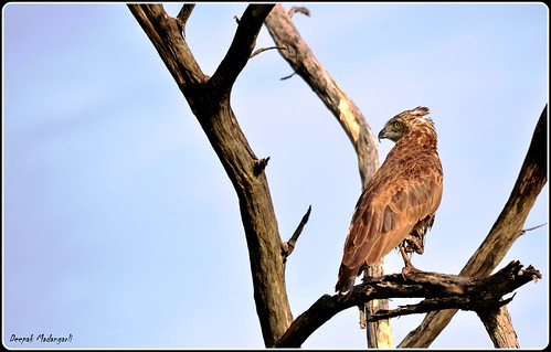 Brown Snake Eagle (Circaetus Cinereus) | by Deepak Madangarli