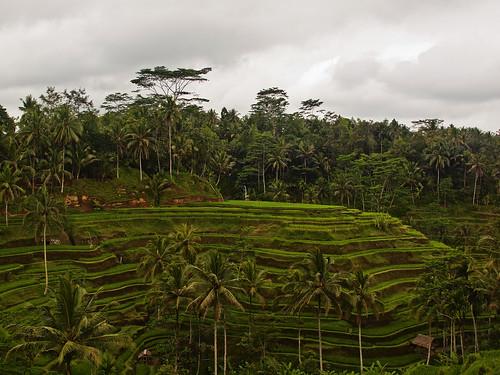 Tegallantang Rice Terrace, Bali | by kevinpoh