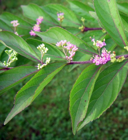 Callicarpa dichotoma 6900733931_75b44b62e9_o