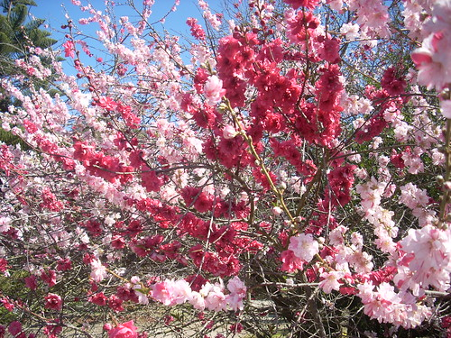 Flowering Peach tree in blossom, two colors, spring in California | by jengod