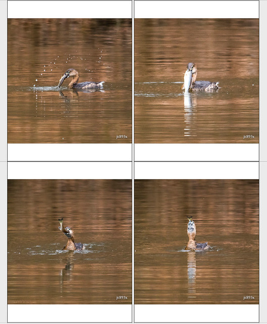 Pied-billed Grebe Collage