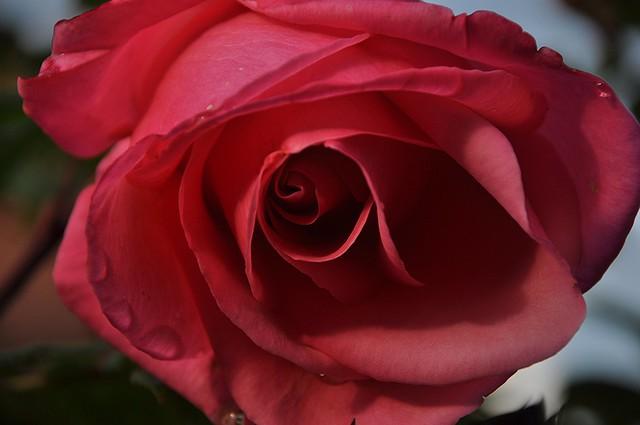 Rose,rose,rose,rose.....................