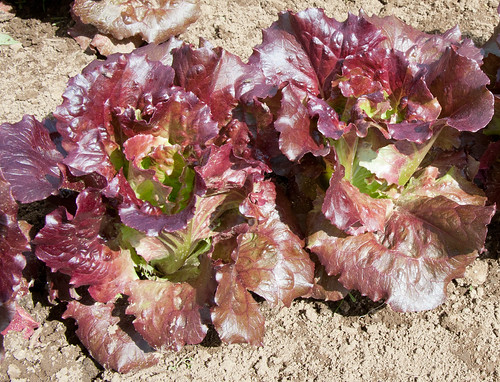 "Lettuce Mini Heads ""Cherokee"" 