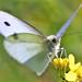 Insectes - Lépidoptères