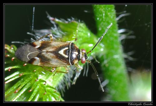 Lygus sp.