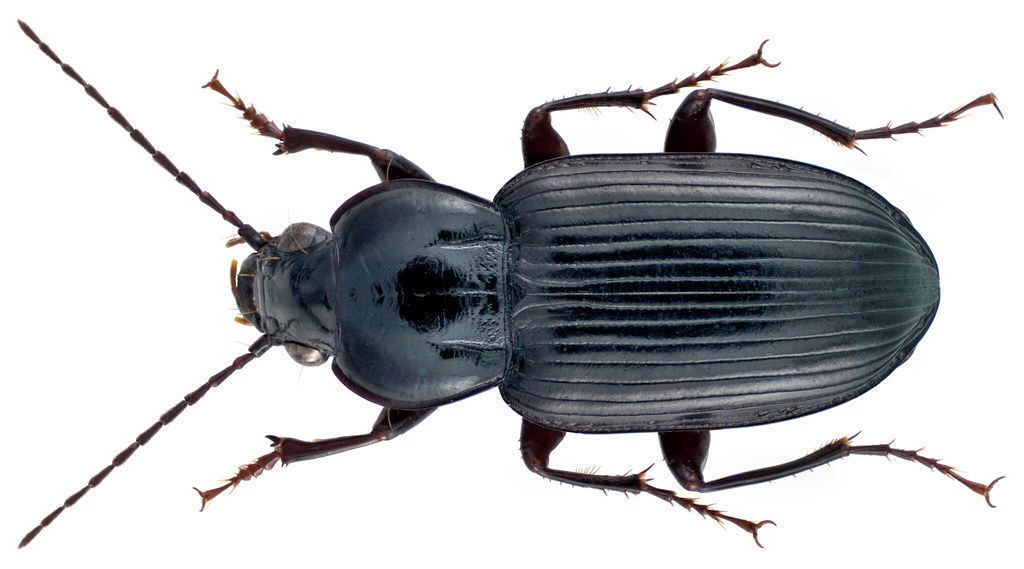 Abacetus parallelus Roth, 1851