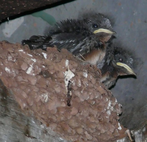 Baby Barn Swallows | by Mike's Birds