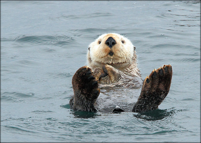 Old and Adorable Sea Otter