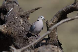 Ring-necked Dove, Streptopelia capicola somalica | by jwsteffelaar