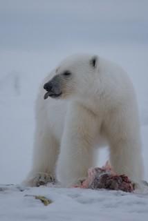 Polar Bear | by Orion Wiseman