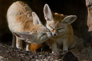Fennec Foxes Kiss