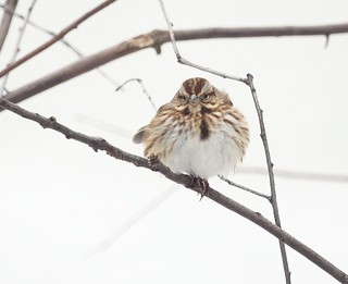 Song Sparrow, Winter | by ed_gaillard