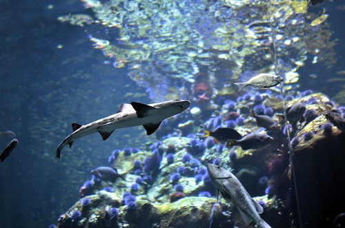 Shark @ California Academy of Sciences | by jbylund