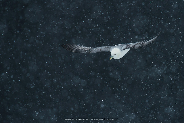 Northern Fulmar and snow