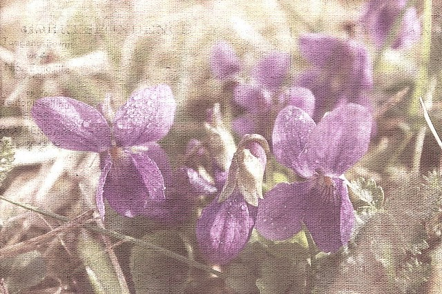 Hearts of violets