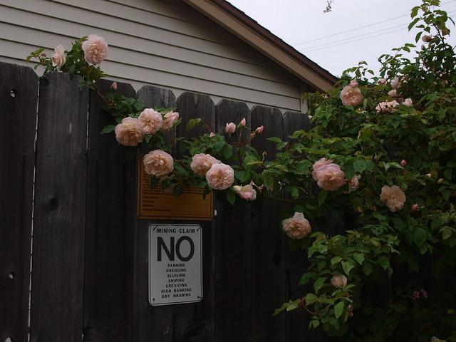 L5113711 Jaune desprez roses
