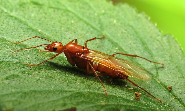 Carpenter Ant Male