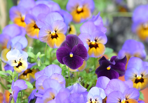 Pansies | by careth@2012
