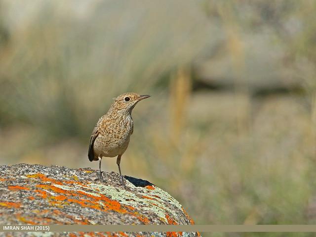 Rufous-tailed Rock-thrush (Monticola saxitilis)