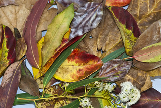 Autumn leaves | by peter hindmarsh