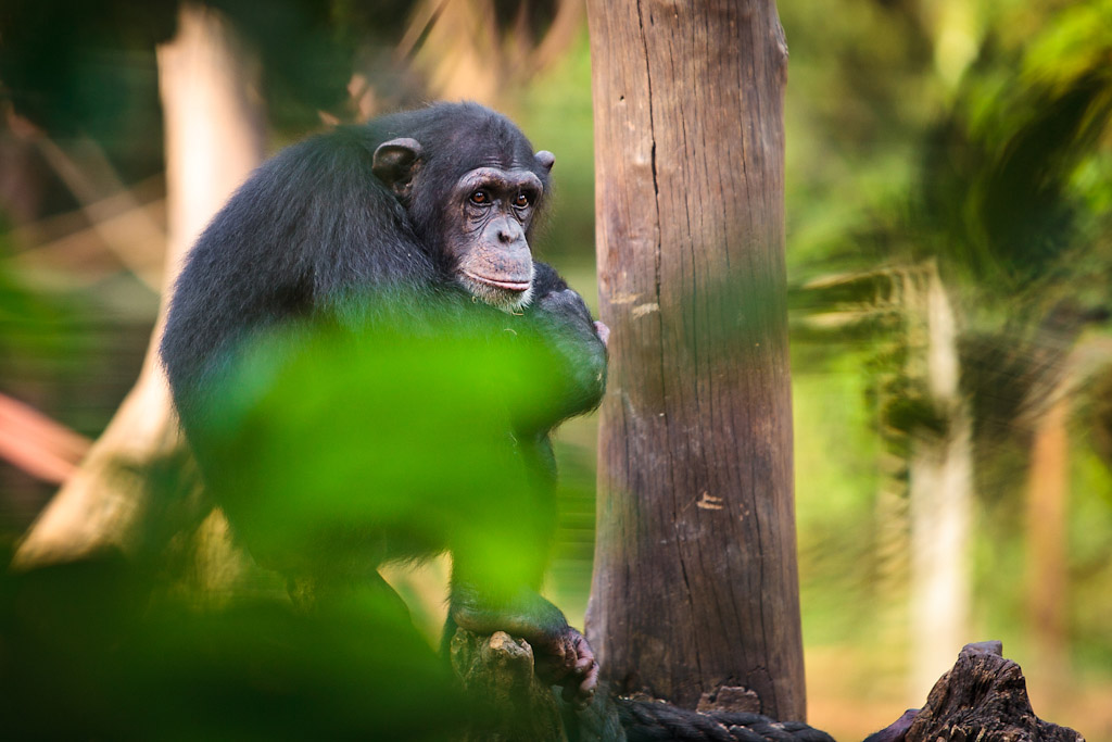photo of chimpanzee sierra leone