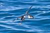 011069-IMG_1704 Fluttering Shearwater (Puffinus gavia)