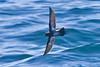 012002.1-IMG_1663 New Zealand Storm-petrel (Fregetta maoriana) by ajmatthehiddenhouse