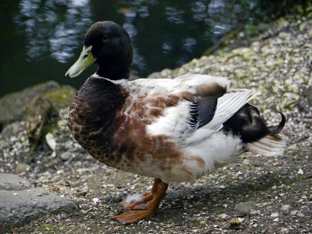 Khaki Campbell duck at Morriston Park 30th May 2012