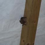 Long-eared Bat Plecotus auritus