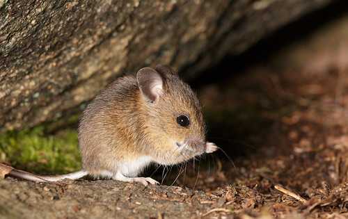 Wood Mouse Grooming | by volesandfriends