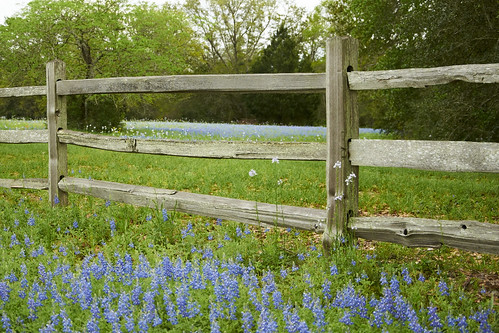texas wildflowers bluebonnets washingtoncounty