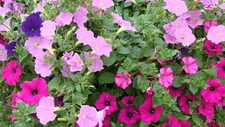 Mixed PETUNIA'S | by Kaz Andrew