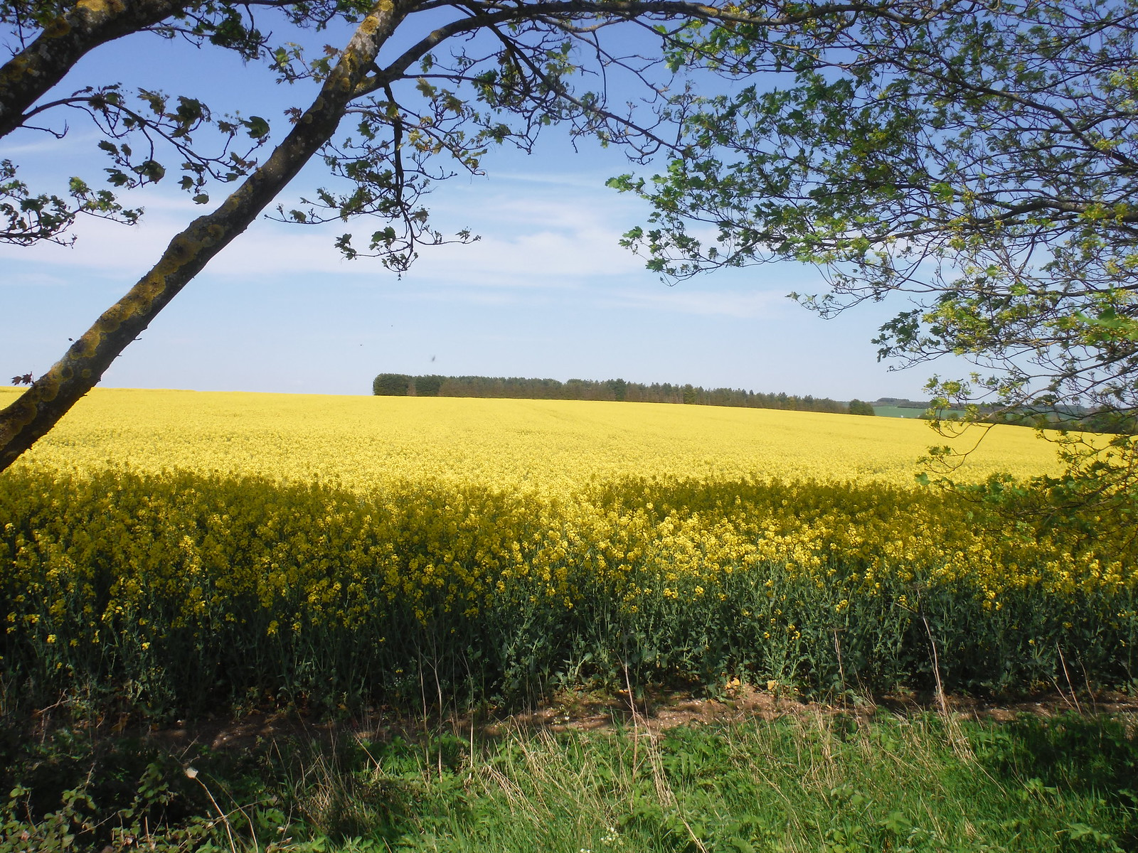 Oilseed Rape Field, and wood, from Caldecote Road SWC Walk 91 - Baldock Circular