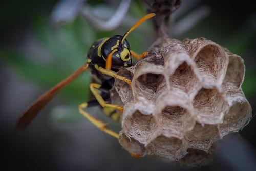 Hymenoptera : Vespidae : Polistes gallicus (Linnaeus, 1767) Femelle