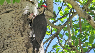 Pileated Woodpecker (Dryocopus pileatus) female | by Gerald (Wayne) Prout