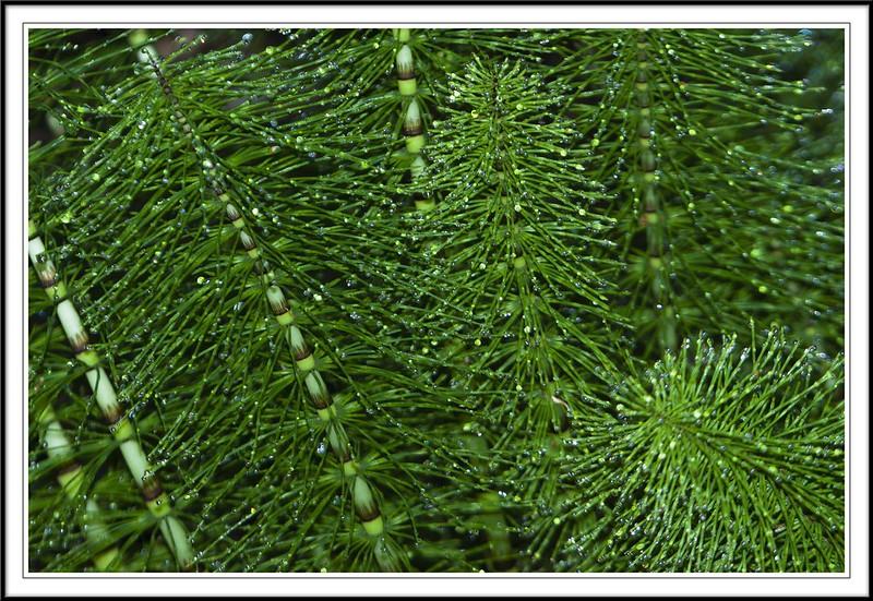 Gotas de rocío sobre colas de caballo (Equisetum arvense) - Texturas naturales