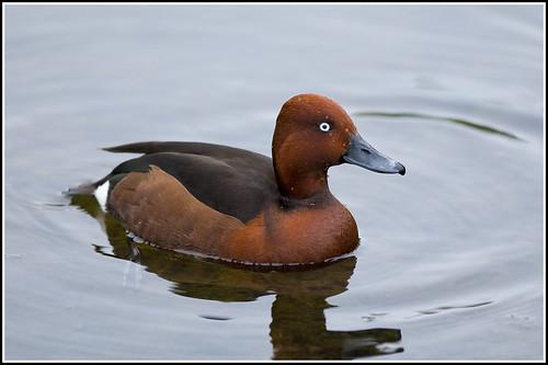 Ferruginous Duck - aythya nyroca   by Linton Snapper