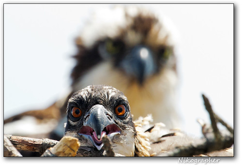 MD Osprey Chick 2012 | by Nikographer [Jon]