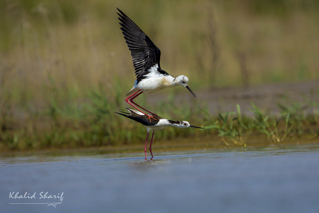 Black-winged stilts (Himantopus) 黑翅长脚鹬 hēi chì cháng jiǎo yù