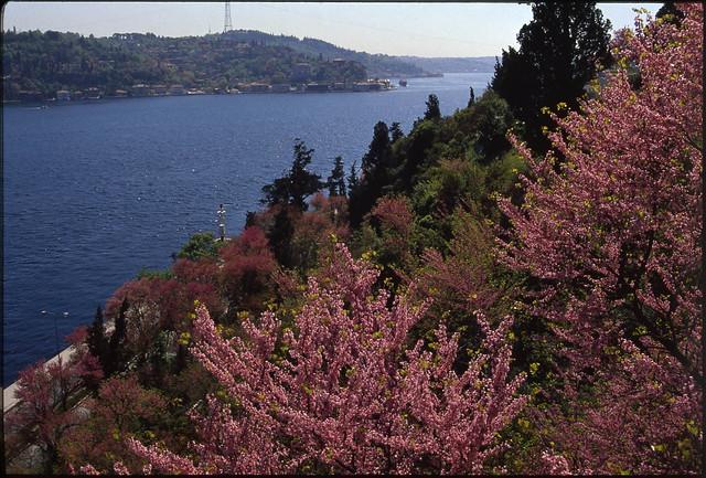 Judas Trees in Bosphorus